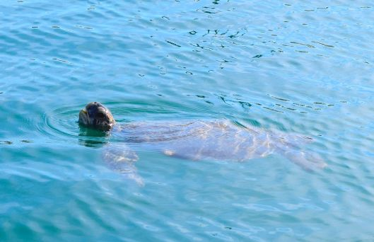Sea turtle swimming off the docks in Marina La Cruz