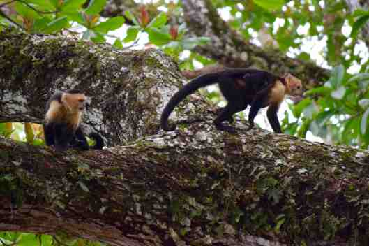 This is a White-headed Capuchin.  Look carefully at the one walking and you will see the hands and feet of her baby.