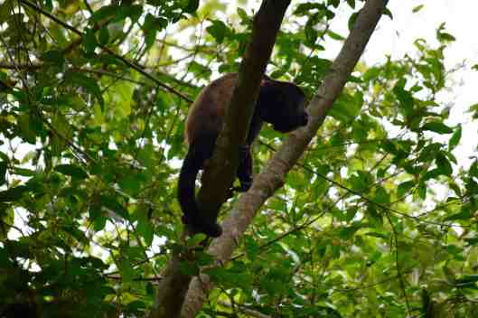 This is a Howler monkey we caught site of.  They make an indescribable noise.