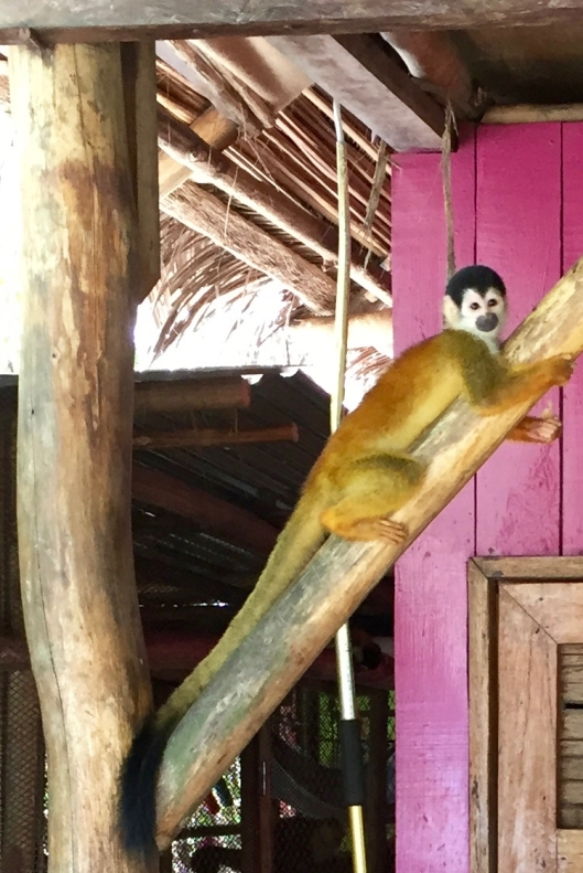 One of the few times any of the Squirrel Monkey's looked directly at me long enough to get a picture.