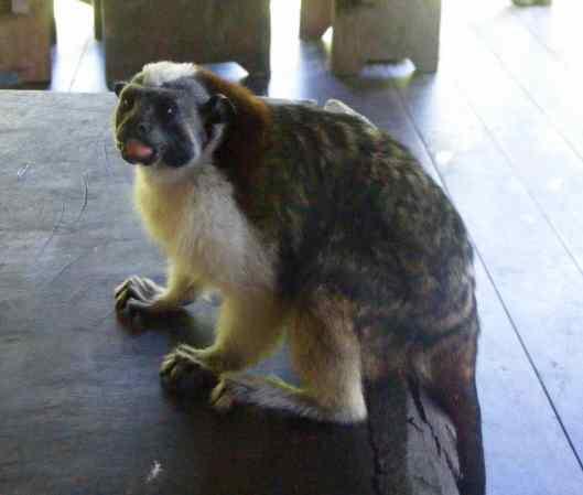 The Geoffrey's Tamarin Monkey.